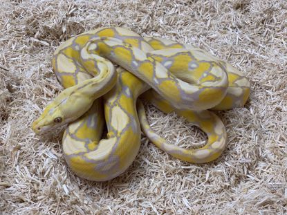 Picture of Male Sunfire Lavender Albino Reticulated Python